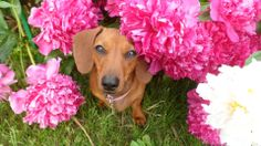 It's coming! Get your high resolution photos ready! As of June 1, 2014 the Canadian Dachshund Rescue (Ontario) is accepting submissions for our annual calendar contest. Have your dachshund's photograph ready to go and don't miss out on the chance to see your four legged friend published!