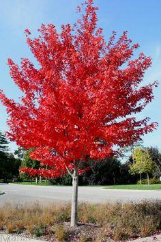 Autumn Blaze Maple - Need some of these for color Maple Trees Types, Autumn Blaze Maple, Trees Online, Specimen Trees, Shade Trees, Garden Trees, Rain Garden, Types Of Soil, Growing Tree