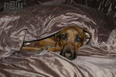 Rhuben under the covers - where else would he be...