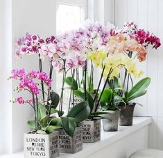 Sacred Really Like - 22 Solutions That Should Change The Tide In Your Daily Life Along With The Lives Of Any Individual Bring Color In Your White Interior With These Colorful Phalaenopsis Orchid Home Decor Inspiration By Bloomifique Easy Plants To Grow, Growing Plants Indoors, Orchid Centerpieces, Orchid Arrangements, Types Of Orchids, Types Of Flowers, White Orchids, Orchids Painting, Orchid Leaves