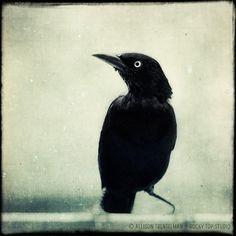 Crow  Raven  Halloween Art  Gothic Decor  by RockyTopPrintShop, $25.00