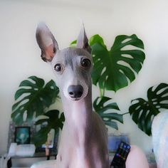 Italian Greyhound! Will someone please get me this dog! I am in love!