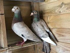 Pigeon Cage, Homing Pigeons, Khalid, Loft Design, English Lessons, Parrot, Racing, Birds, Animals
