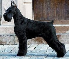 "Gallilees Pure of Spirit, ""Spirit"" top winning Giant Schnauzer of all time. Black Schnauzer, Miniature Schnauzer Puppies, Giant Schnauzer, Schnauzer Puppy, Standard Schnauzer, Big Dogs, I Love Dogs, Dogs And Puppies, Schnauzer Grooming"