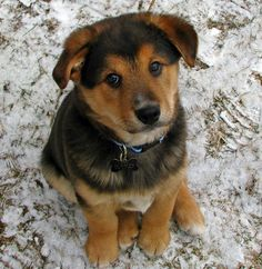 german shepherd/chow mis. I held one at a pet adoption and she was the sweetest dog I had ever encountered. It was a year ago and I still wish I could have taken her home that day. I want one for Christmas.