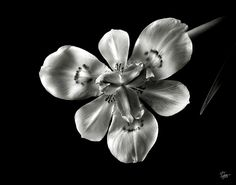 Flower Photograph - Morea Lily In Black And White by Endre Balogh