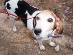 Treeing Walker mix F 7 years spayed named Peaches in Darlington, SC @ Darlington County Humane Society 843-398-4402 darlingtonhumanepets@gmail.com