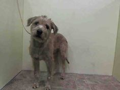 Manhattan Center   MAX - A1017300   MALE, CREAM / WHITE, SCHNAUZER GIANT MIX, 2 yrs STRAY - STRAY WAIT, NO HOLD Reason STRAY  Intake condition UNSPECIFIE Intake Date 10/13/2014, From NY 10467, DueOut Date 10/16/2014,   https://www.facebook.com/photo.php?fbid=888207921192088