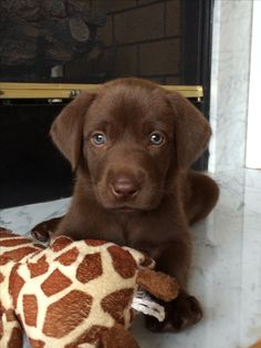 Chocolate Lab Puppy #luke