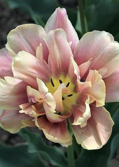 Parrot Tulip Brandy Snap by Kevin F Cook