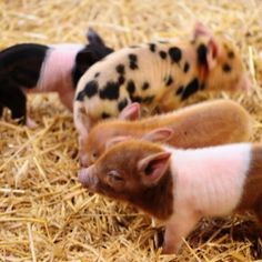 Pigs!  can't choose...must have them ALL!!!