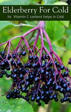 Elderberry For Cold - 87% Vitamin C content helps in curing cold. #Elderberry is good for cold and other respiratory problems.