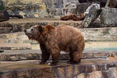 bear photos free | best body design for fighting among the terrestial predators... in ...