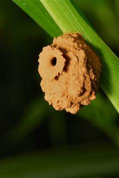 Potter Wasp Nest | Flickr - Photo Sharing!