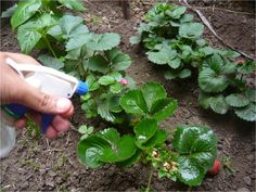 Inseticida, fungicida, repelente biologico