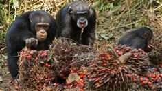 Chimpanzees in west Africa observed indulging in habitual drinking | Science | The Guardian
