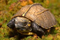 Endangered Keeled Box Turtle at the Tennessee Aquarium on ZooBorns Geckos, Land Turtles, Box Turtles, Endangered Species, Freshwater Turtles, Freshwater Aquarium, Turtle Hatching, Tortoise Turtle, Snakes