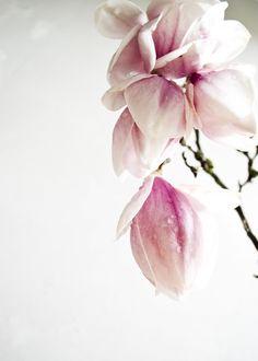 #magnolia #spring #blossom
