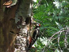 Grote Bonte Specht, great spotted Woodpecker 20/05/2014