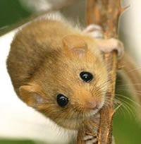 Cute little hazel dormouse.