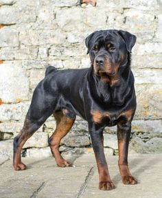 Mini Me Squeaky Dog Toy: Rottweiler / Rottie Cute Puppies, Cute Dogs, Dogs And Puppies, Beautiful Dogs, Animals Beautiful, Animals And Pets, Cute Animals, Rottweiler Puppies, Rottweiler Facts