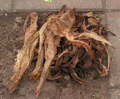 24) Witlof kweken – sjeftuintips