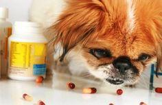 O uso de comprimidos ou injeções anticoncepcionais para cadelas e gatas é altamente desaconselhável e perigoso, podendo levar à morte do pet. O controle de natalidade dos animais domésticos é, realmente, um desafio dos dias de hoje, mas a castração ainda é a melhor forma de evitar que sua cadela, ou gata, fique grávida ou passe pelo cio. As injeções e comprimidos, infelizmente, não são alternativas aceitáveis. Absurdamente, ainda existem 'veterinários' que dão essas injeções ou receitam…