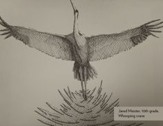 Art Contest Semifinalist, Grades 9-12: Whooping crane, Jared Meister, Age 15, Cameron R-1 High School