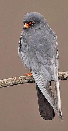 Male Red-footed Falcon | Male Red-footed Falcon, Bulgaria