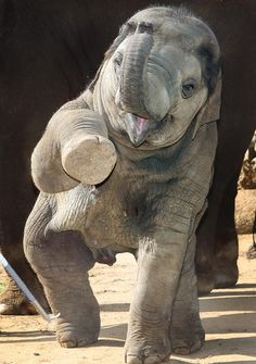 High Five from baby Asian Elephant. We need to give them back their future. | Help us gain media sponsors by liking Ivory For Elephants on FB, pinning, and reading TheElephantDaily.com to keep up on the latest. #ivoryforelephants #stoppoaching #elephants for #ivory ! #animals #babyelephants #animalbabies