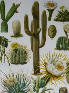 Cactus illustration, 1927 antique lithograph