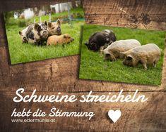 Ausflugsziel Waldviertel: Schweine streicheln hebt die Stimmung Mood, Pork, Animales