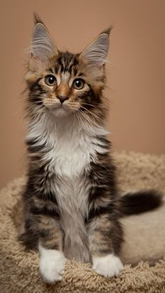 beautiful Maine Coon kitten with great tips on its ears... http://www.mainecoonguide.com/what-is-the-average-maine-coon-lifespan/