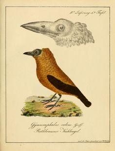 Lfg.1-12 (1818-1822) - Voegel, aus Asien, Africa, America und Neuholland, in Abbildungen nach der Natur mit Beschreibungen / - Biodiversity Heritage Library