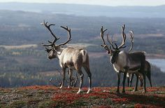 Reindeers in a beautiful landscape, Finnish Lapland