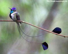 Colibri del Perú