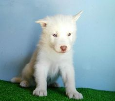 Husky puppies for sale in PA is a sweet, playful dog, full of energy and affection. This Arctic dog makes a great family pet, being good with children and visitors. Husky Puppies For Sale, Husky Puppy, Art Reference, Pets, Animals, Animales, Animaux, Animal Memes, Animal