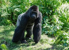 Gorilla In The Midst by Jim Cook