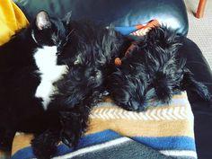 Sleeping babies.  Fur pile # #puppy #dog #puppies #pet #happy #instagood #instapuppy  #doggie #doggo #minischnauzer #schnauzer #miniatureschnauzer # #kitten #cat #kitty #pet #happy #instagood #instakitty