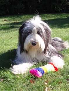 Cyclists And Dogs Bearded Collie Puppies, Cutest Dog Ever, Herding Dogs, Old English Sheepdog, Dog Id, Shepherd Dog, Pet Birds, Dog Breeds, Dogs And Puppies