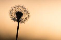 Looking hot - Un fiore di tarassaco alle luci di un tramonto