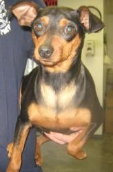 LILLY is an adoptable Miniature Pinscher Dog in Summersville, WV. Lily is an one and a half year old female Mini Pin mix.  She was brought into the shelter March 18.  She is a friendly girl and gets a...