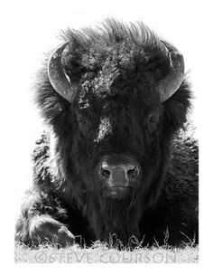 bison bull in black and white Buffalo S, Buffalo Animal, African Buffalo, Beautiful Creatures, Animals Beautiful, Buffalo Pictures, American Bison, Majestic Animals, Poster