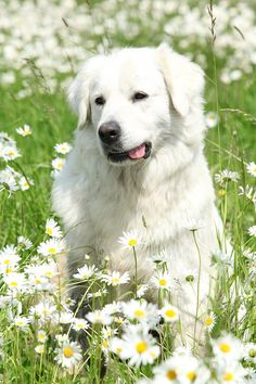 The Slovak Cuvac is a large Slovakian breed known for its plush white coat and its livestock guarding abilities.