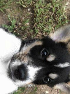 Our future pup beautiful!! @Brianna Frasher  Australian shepherd Husky mix