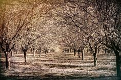Almond Road by Roni_Burla #nature #mothernature #travel #traveling #vacation #visiting #trip #holiday #tourism #tourist #photooftheday #amazing #picoftheday