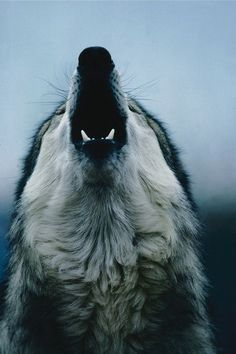 The wolf . Cry for recognition of the wolf as a beautiful symbol of the wild… Wolf Spirit, Spirit Animal, Beautiful Creatures, Animals Beautiful, Magical Creatures, Tier Wolf, Animals And Pets, Cute Animals, Wild Animals