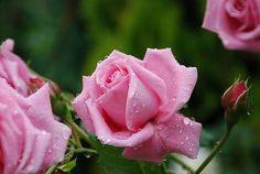 バラの蕾 : 薪ストーブな日々