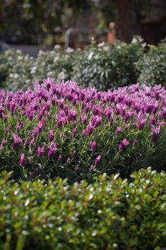 Lavandula 'With Love' Early Spring Flowers, Hedging Plants, Large Containers, Lavandula, Hedges, Lavender, How Are You Feeling, Seasons, Love