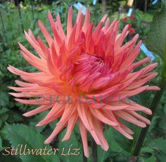 Dahlias, Orange, Plants, Flowers, Flower, Lawn And Garden, Dahlia, Dahlia Flower, Plant